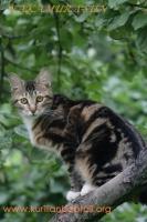 Lynx Standart Wendy2