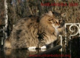 Зимний мех курильского котёнка ПДШ в лучах заходящего солнца