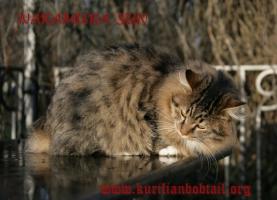 Зимний мех курильского котёнка ПДШ в лучах заходящего солнца-2