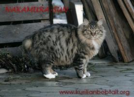 Зимний мех курильского котёнка ПДШ