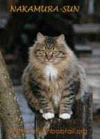 Зимний мех курильского котёнка ПДШ-2