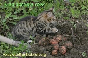 Бобтейлы копают картошку