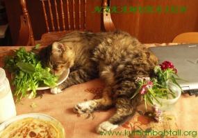 Послеобеденный отдых курильского кота