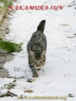 Жаконя- снежный барс