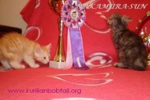Котик кремовый серебро,кошечка серебристая черепаха-1