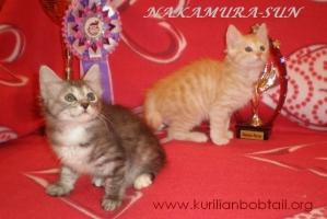 Котик кремовый серебро,кошечка серебристая черепаха-2