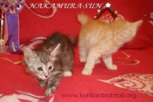 Котик кремовый серебро,кошечка серебристая черепаха-3