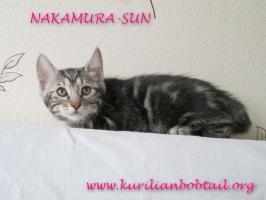 Кот КШ мрамор серебро-3