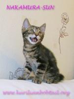 Котик КШ чёрный мрамор хвост крючком-4