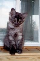 Кошечка чёрный дым с белым-3